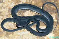 Dragon Snake - Xenodermus javanicus