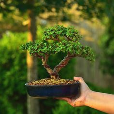 """""""Finally graduated to a bonsai pot after years in a plastic growing container. The portulacaria afra is one of the most versatile species for bonsai. Jade Bonsai, Succulent Bonsai, Succulents Garden, Bonsai Pruning, Bonsai Plants, Bonsai Garden, Mini Bonsai, Indoor Bonsai, Bonsai Forest"""