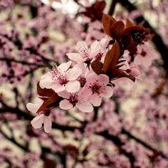 Cherry Blossoms 6X6 nature photo print home decor by KHawkinsPhoto