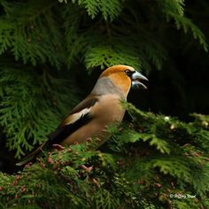 Hawfinch, Birds, World, Animals, Woods, Animales, Animaux, Bird, Animal Memes