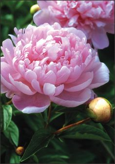 Peony Walter Faxon - Fragrant, Mid-season blooming peony. Exceptional bloom production! Hardy zones 3-8