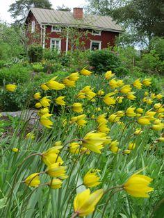 monivuotinen jakaantuva tulppaani kaunis,
