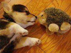 puppy looove - Corgi!!!!!