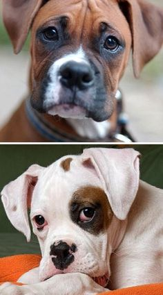 Boxers, the most expressive face in Dogdom. 20-25% of boxer puppies are born white.