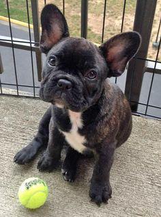 Brindle french bulldog.. aka my future dog