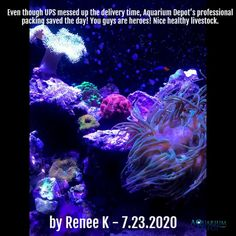 Review Submitted by Renee K on 7.23.2020 - Even though UPS messed up the delivery time, Aquarium Depot's professional packing saved the day! You guys are heroes! Nice healthy livestock.  Visit AquariumDepot.com    #coraltank #reefaquarium #reeftank #allmymoneygoestocoral  #allmymoneygoestocorals #aquaculture #livecorals #eatsleepreef #saltwatertank #reeflife #fromourreeftoyours  #brightwellaquatics #polyplabccc #aquariumgoals #aquarist  #aquariumlife #aquascaper #fishtank Aqua Culture, Coral Tank, Saltwater Tank, Live Coral, Reef Aquarium, Live Fish, Save The Day, Mess Up, Pretty Birds
