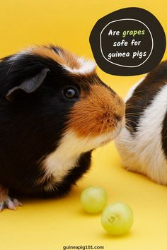 Are Grapes Good For Guinea pigs? (Hazards, Serving Size & More) (Good or Bad? Find out!) I how to care for pet guinea pigs I pet guinea pig care I small animal care I guinea pig information I information on pet guinea pigs I what to do with pet guinea pigs I things to know about pet guinea pigs I pet guinea pig tips I care tips for pet guinea pigs I small pet homes I guinea pig cages I what can guinea pigs eat I food for guinea pigs I #guineapig #guineapigfoodplan #smallpets #pets