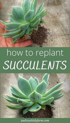 Transplant Succulents, Replanting Succulents, Growing Succulents, Succulents In Containers, Cacti And Succulents, Planting Flowers, Caring For Succulents Indoor, How To Propagate Succulents, Flower Containers