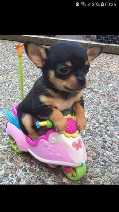 Mini chien – Chien miniature Chihuahua blanc - Mini chien : 40 petites boules de poils à croquer ! Funny Animal Jokes, Funny Dog Memes, Cute Memes, Cute Funny Animals, Funny Dogs, Baby Animals Pictures, Cute Animal Photos, Funny Animal Pictures, Funniest Pictures