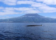 The magic isle of Pico in Azores, Portugal, and a whale crossing the channel.