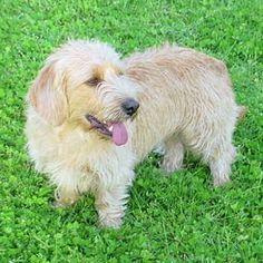 basset fauve de bretagne photo   Le basset fauve de Bretagne : 40 races de petits chiens - Journal des ...