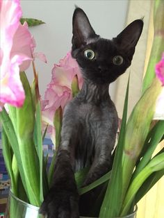 Lucy - Devon Rex - Tap the link now to see all of our cool cat collections! Devon Rex Kittens, Cats And Kittens, Pretty Cats, Beautiful Cats, Pet Dogs, Dog Cat, Animals And Pets, Cute Animals, Cornish Rex Cat