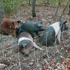 Nancy Lunzer used hogs to reclaim a woodlot that had been overtaken by buckthorn.