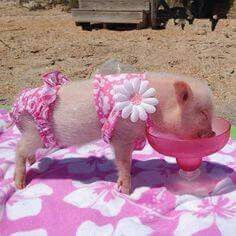 Here are 22 things mini pig owners will understand and why they chose these adorable animals as pets. Mini pigs are adorable but do require extra care. Cute Baby Pigs, Cute Piglets, Baby Animals Super Cute, Cute Little Animals, Little Pigs, Cute Funny Animals, Baby Piglets, Teacup Pigs, Pet Pigs