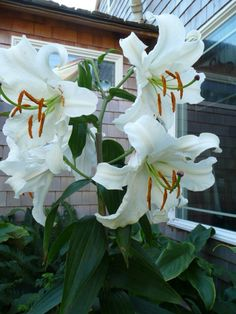Caa Blanca Lilies====MY FAVORITES--GROW WELL IN OUR AREA....ORDERED 24 BULBS SHOULD ARRIVE FOR PLANTING SOON