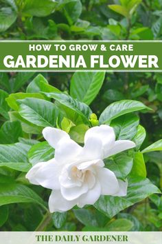 How to Grow and Care Gardenia Flower - The Daily Gardener Gardenia Care, Gardenia Bush, Gardenias, Kew Gardens, White Gardens, Evergreen Shrubs, Trees And Shrubs, Dubai Miracle Garden, Acid Loving Plants