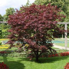 25 Gr Erable Palmé Rouge du Japon /'Acer Palmatum/' Red Japanese maple tree seeds