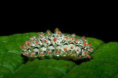 Afbeeldingsresultaat voor Acraga hamata larva (the translucent jewel caterpillar)