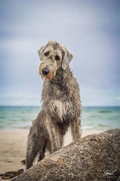 Not a Deerhound, An IWH, best breed ever