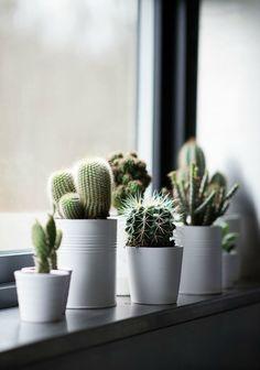 Mini cactussen voor in huis
