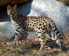 Savannah cats - the largest domesticated cats in the world, weighing in at 18 to over 30 lbs.  Playful, intelligent, and absolutely gorgeous, they are a cross between a serval and a domestic cat.