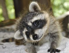 Baby Raccoon - my most favorite animal EVER