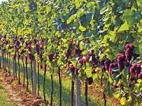 Jak ošetřit vinohrad ve druhém roce: řez révy a stavba opory