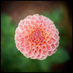 The one that is all peaches and cream. #pnw #macro_flowers #ig_flowers #flowerstalking #9vaga_flowersart9 #ig_mood #bestcaptureglobal #hot_macros #em_member #smallworld_uc #pocket_pretty #topfleur #fav_flowers_ #quintaflower #flowersandmacro #my_daily_flower #igscflowers #flipping_flowers #Macroandflora #macroclique #saylovetonature #tgif_macro #eye_for_earth #epix_flowerz #pocket_macro #flaming_flora #petal_perfection #lens_it2me