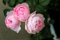 My favourite rose <3