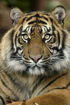 Tiger at Paignton Zoo Environmental Park, Devon, Day Visit