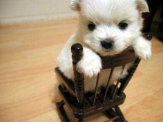 miniature sized puppy in a miniature sized chair :)