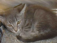 A1639203 - URGENT - CITY OF LOS ANGELES SOUTH LA ANIMAL SHELTER in Los Angeles, CA - Female KITTEN Domestic SH