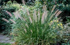 Find help & information on Pennisetum alopecuroides 'Hameln' Chinese fountain grass 'Hameln' from the RHS Perennial Grasses, Full Sun Perennials, Ornamental Grasses, Corps Parfait, Prairie Garden, Fountain Grass, Rock Garden Plants, Shade Plants, Nice