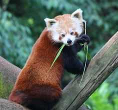 Red Panda by Paul Hull on 500px