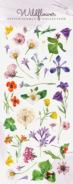 Download these public domain classic remix of retro floral & botanical artwork collection including watercolors illustrations of North American wildflowers by Mary Vaux Walcott, including summer flowers like poppies, red & orange lily, balsamroot, waterlily, perennial flower, Turkey head cactus, and more available for printable wall arts, posters, paintings, and photos in feminine aesthetics, and more beautiful stock photos, vectors, and mockups for your art project at rawpixel.com Flowers Illustration, Botanical Illustration, Watercolor Illustration, Art Nouveau, Printable Wall Art, Printable Vintage, Hand Drawn Flowers, Aesthetic Drawing, Retro Floral
