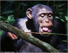 West African chimps have a favourite tool set for catching their staple food of ants.