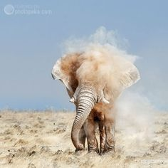"Click through for ""11 Stunning Nature Photos"" -- Shown: ""Elephant shaking dust,"" by Peter Delaney. -- SH: Actually, this is ""Godfather Series # 1"" -- and there's a great story about it here: http://www.peterdelaney.co.za/godfather-series-1"