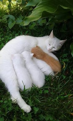 I had a pure white Maine coon that had 3 litters. All her kitten were.white but 2.