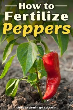 Learn How to Fertilize Peppers and what the 10 Best Pepper Fertilizers are with this buying guide! You'll also find answers to all frequently asked garden fertilizer questions you have. #peppers #fertilizer #vegetables Vegetable Garden Planning, Vegetable Garden For Beginners, Gardening For Beginners, Garden Tips, Garden Projects, Garden Ideas, Vegetable Garden Fertilizer, Garden Fertilizers, Fertilizer For Plants