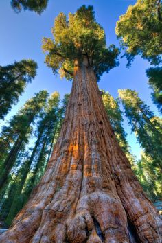 The Largest Tree in the World:  General Sherman is from California!  (estimated age of 2,300 – 2,700 years)  Checked off the Bucketlist August 2014.
