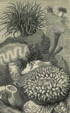 Sea Anemones, Actiniaria, Alcyonacea, Cnidaria, Frilled Anemone, Gorgonian, Sea Whips or Sea Fans and a Gewone Rivierkreeft (Astacus/fluviaitis); 19th century steel-plate engravings.