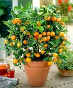 Bonsai Plant : Purify The Air Absorb Harmful Gases. Hi warm climate. Orange tree, Rutaceae citrus plants, evergreen small trees, native to China, widely distributed in the provinces south of the Yangtze River. Indoor Fruit Trees, Dwarf Fruit Trees, Potted Trees, Fruit Plants, Fruit Garden, Garden Trees, Trees To Plant, Bonsai Seeds, Tree Seeds
