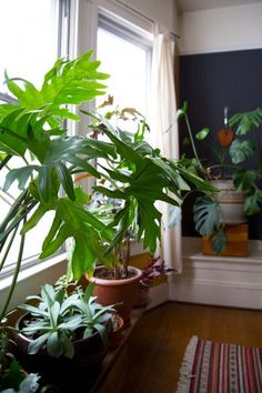 Lacy Tree/Split Leaf Philodendron (Philodendron bipinnatifidum)