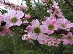 Leptospermum squarrosum  PEACH FLOWER TEA TREE - Repertorio australiano Bush