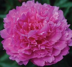 Klehm's Song Sparrow Farm and Nursery--Peonies/Paeonia--'Fragrant Pink Imp' Love Flowers, Beautiful Flowers, Song Sparrow, Cut Flower Garden, Peonies Garden, White Peonies, Clematis, Trees To Plant, Shrubs