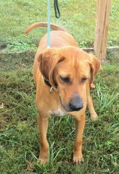 Isabelle is a gorgeous Redbone Coonhound and is four years old. She is such a gentle, mellow and good-natured dog.  Isabella is so beautiful with her gorgeous red coat and long legs. She is a loyal walking companion. Isabelle has so much fun in the...