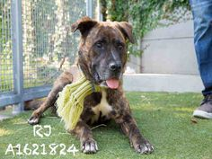 R.J is an adoptable German Shepherd Dog searching for a forever family near Los…