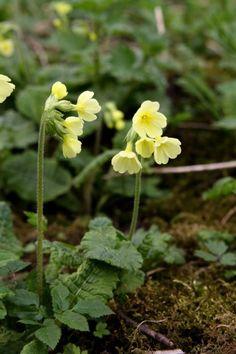 Frühlings Schlüsselblume Primula veris Frühlingsblumen Bilder
