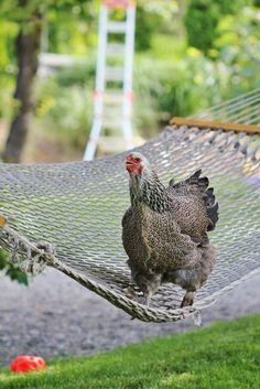 Hen on the hammock
