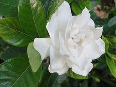 Year round fragrance for a Florida garden